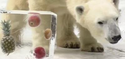 氷をもらったホッキョクグマのイッチャン