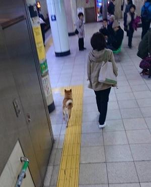 駅構内に入ってきた柴犬その2
