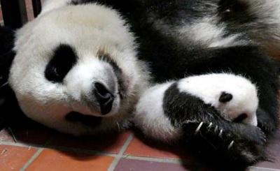 朝日新聞 生後44日目のパンダの赤ちゃんと母親のシンシン(25日、東京動物園協会提供)