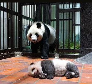 母親のシンシンと赤ちゃんパンダ