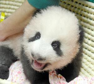 生後80日となった上野動物園の赤ちゃんパンダ(東京動物園協会提供)