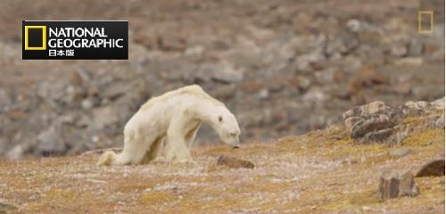 餓死寸前・胸張り裂ける色クマの動画