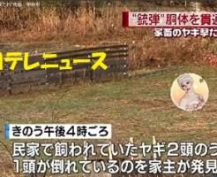 射殺された家畜のヤギ