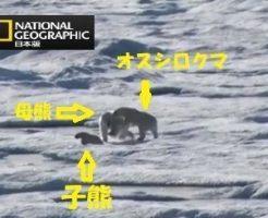 子熊を襲うオスのシロクマ