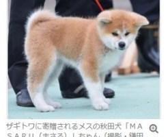 ザギドワに寄贈される秋田犬マサル