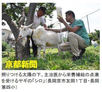 学校アイドルヤギ、酷暑の京都で死にかけてます