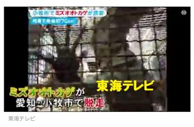 愛知県小牧市でペットとして飼われていたミズオオトカゲが脱走