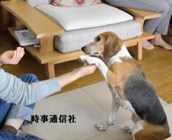 実験犬からペットになったビーグル兼