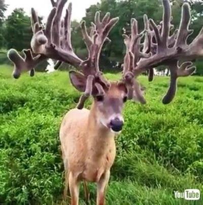 立派すぎる角の鹿