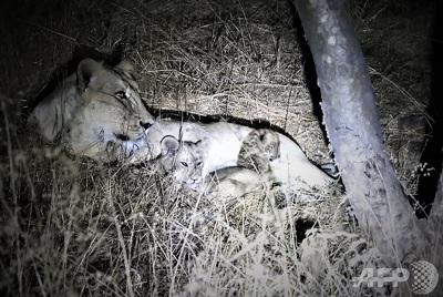 ヒョウの赤ちゃんを「養子」にした雌ライオン