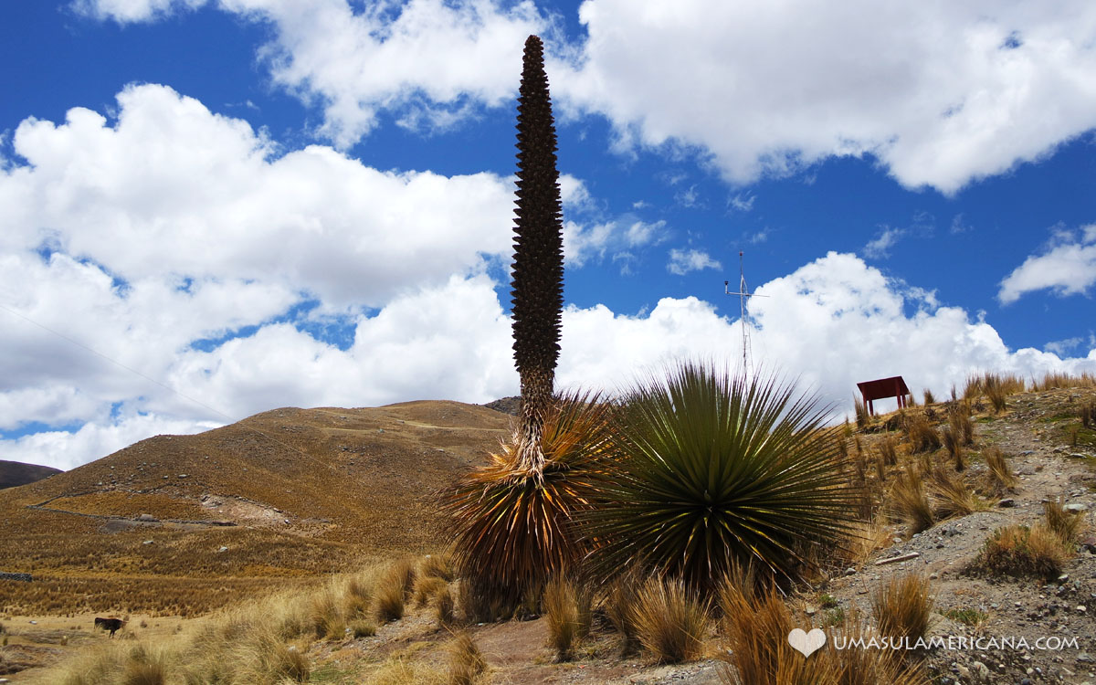 Puya Rimondii - a Planta Gigante dos Andes durante o passeio ao Glaciar Pastoruri, no norte do Peru