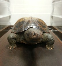 The Real Testudo.
