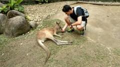 Feeding a kangaroo in Kuranda