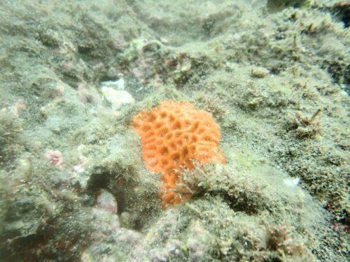 サンゴの赤ちゃん