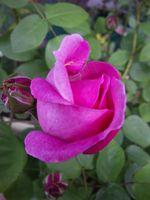自宅庭のバラ