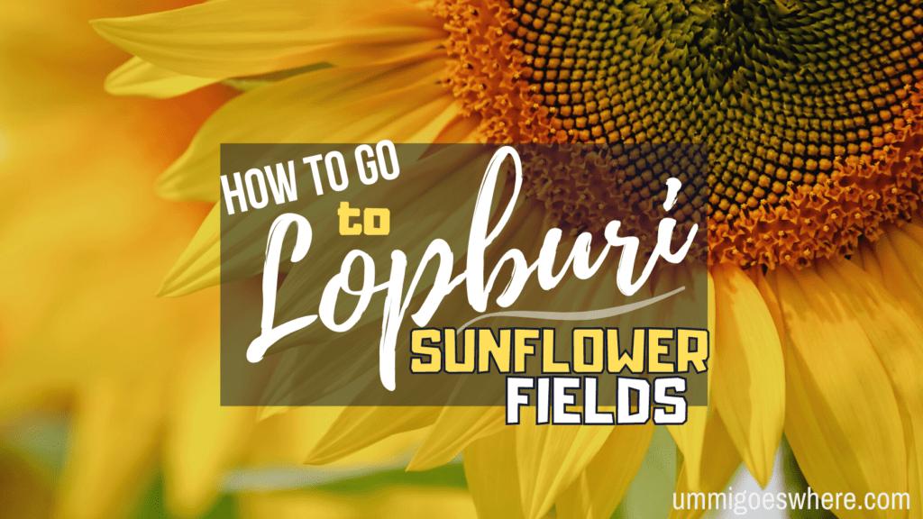 How to Go to Lopburi Sunflower Fields | Ummi Goes Where?