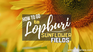 How to Go to Lopburi Sunflower Fields | Ummi Goes Where?