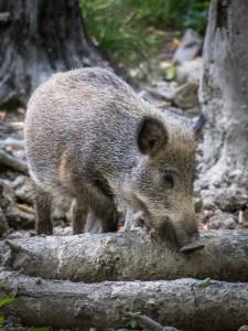 boar-3599160_1920
