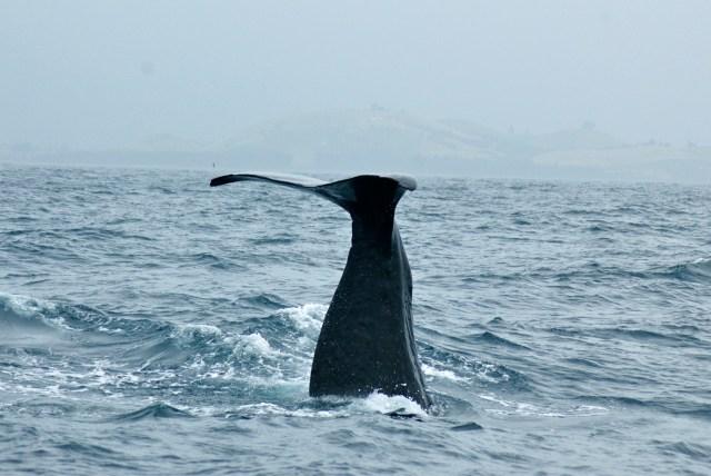 O mergulho vertical do Cachalote