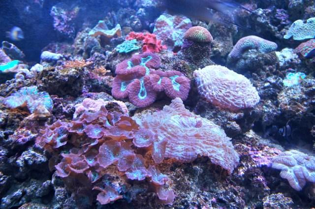 Corais da Grande Barreira no Aquário de Sydney