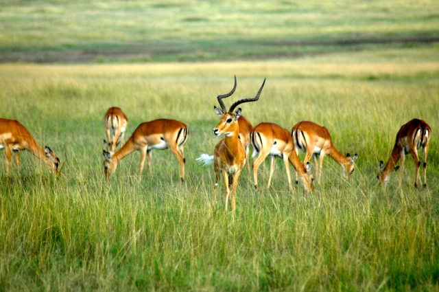 As impalas