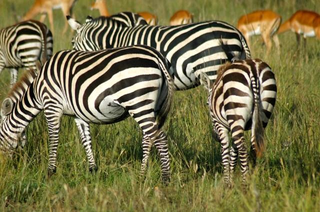 A grande concentração de alimento na Reserva Masai Mara