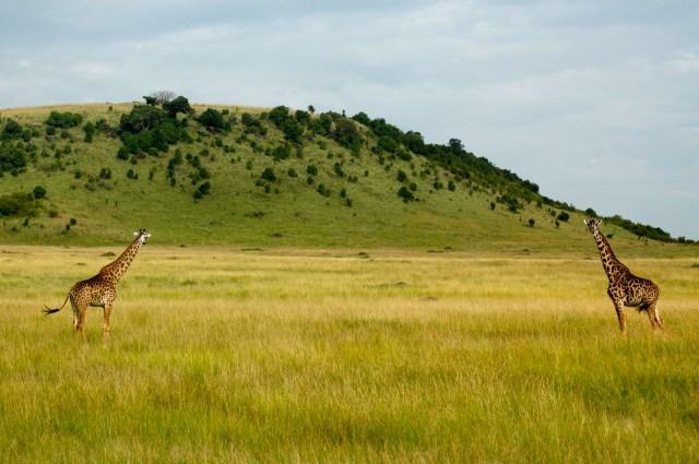As girafas podem chegar a 6m de altura