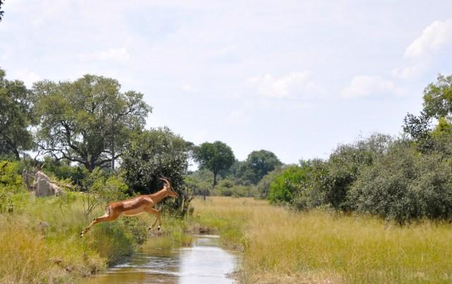 O salto da impala