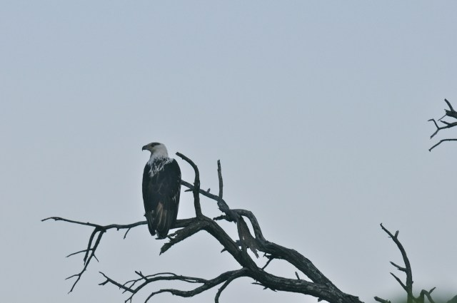 A águia na procura da caça