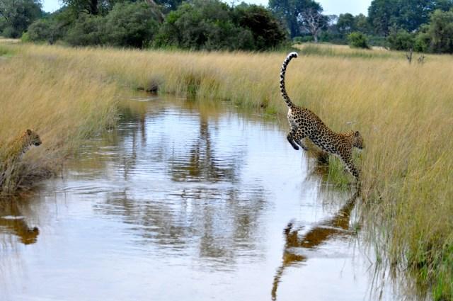 O grande salto do leopardo - a melhor foto do dia