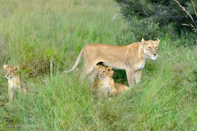 A leoa com os filhotes