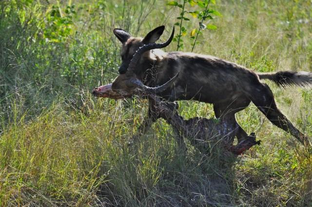 O Cão Selvagem destrói a caça.