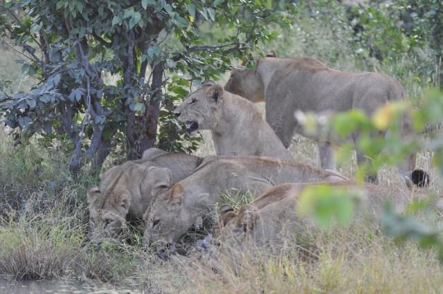 Os leões bebendo água