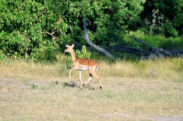 As Impalas conseguiram fugir.