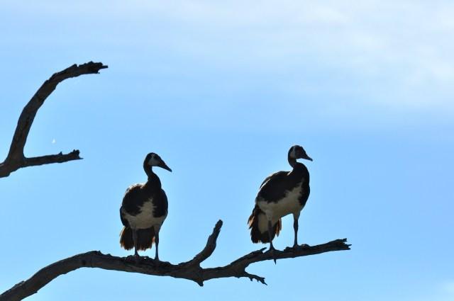 Os gansos sobre as árvores
