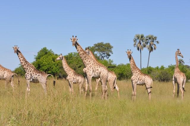 As Girafas deram um show
