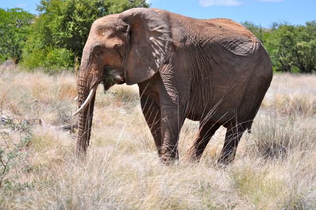 Eles são mais claros e enrugados que os outros elefantes