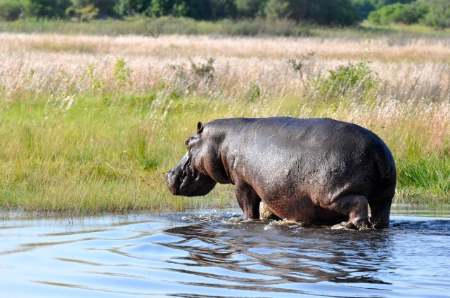 Um belo Hipopótamo