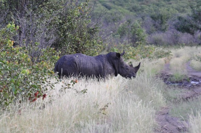 Os rinocerontes saíram do mato.