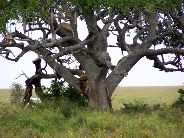Leoas sobre a árvore.