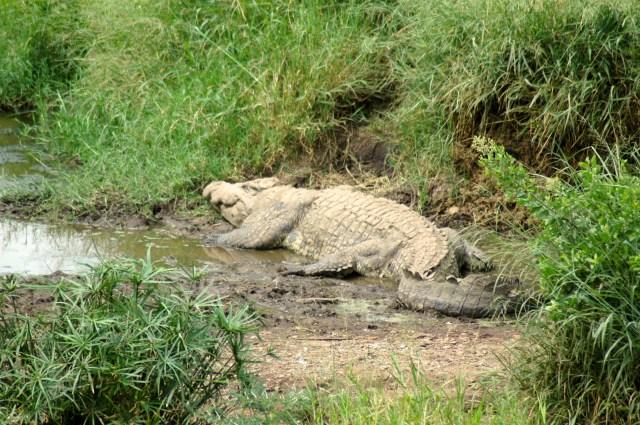 Crocodilo do Serengeti na beira do rio.