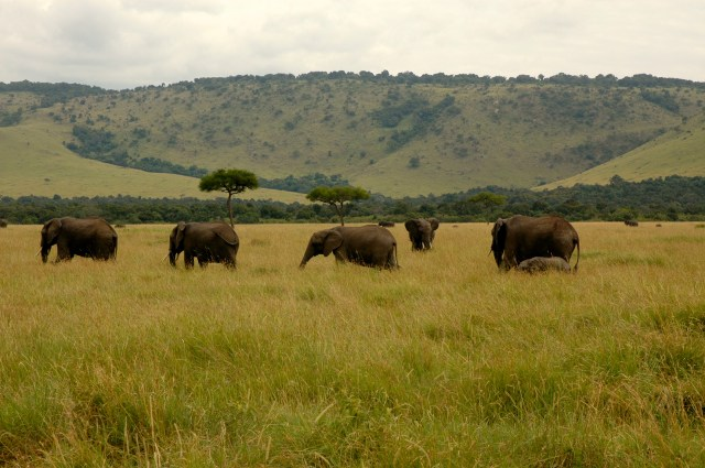 A manada de elefantes.