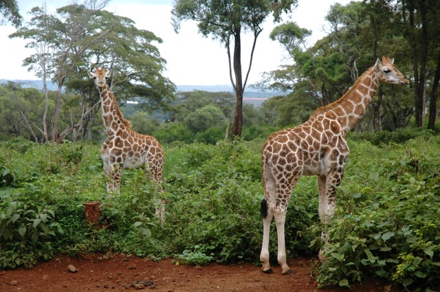 Dois belos exemplares de Girafas Rothschild