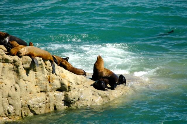 Os Lobos-Marinhos da praia de Punta Loma