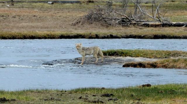 Encontramos os primeiros lobos no Yellowstone.