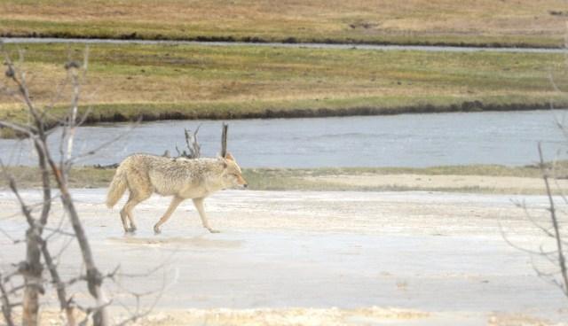 Os lobos ainda estão ameaçados de extinção.