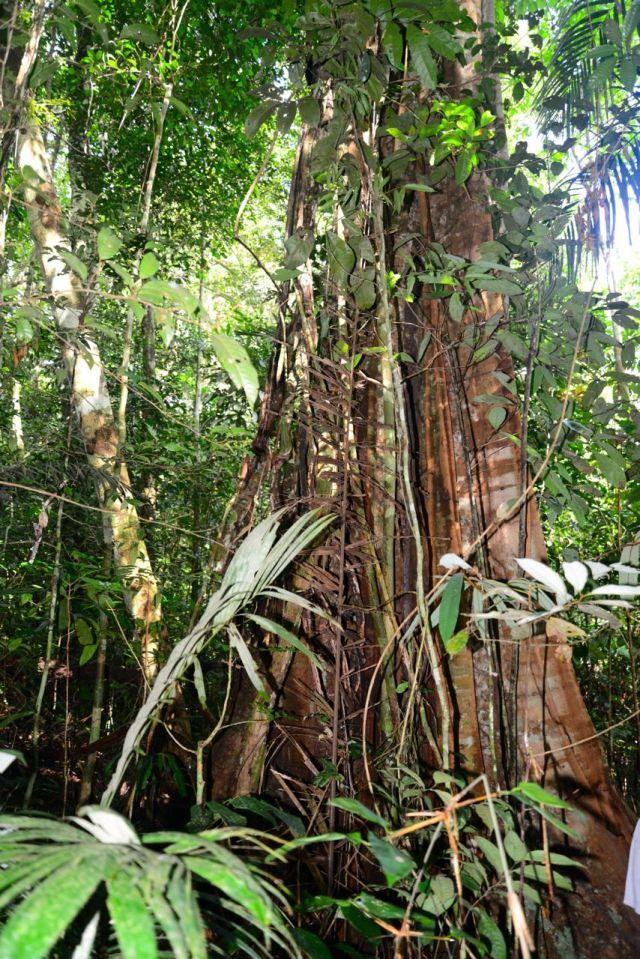 Árvores gigantes no meio da trilha pela Floresta Amazônica.