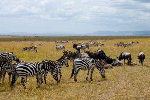 Zebras e gnus nas savanas do Quênia.
