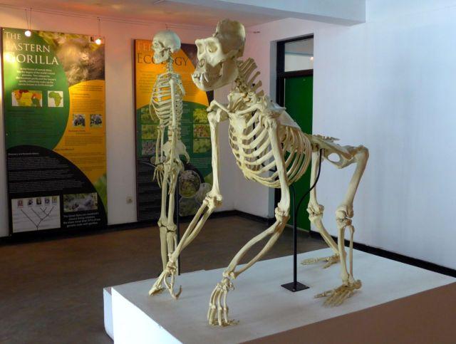Esqueleto de um gorila no Fundo Internacional Gorila Dian Fossey