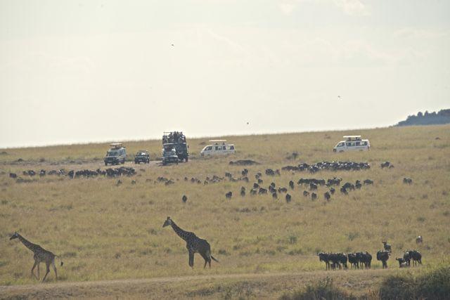 Um grupo de gnus estava reunido do outro lado do Rio Mara.